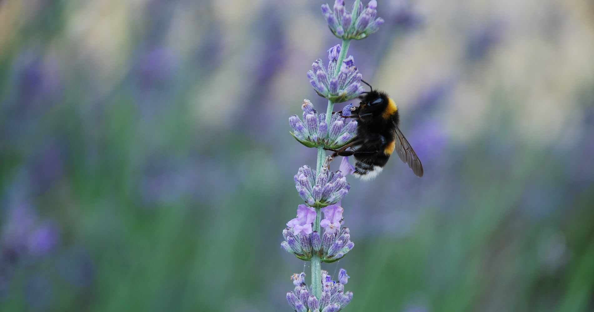 lavender and bee header for essential oil blog