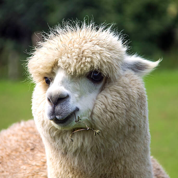 Natural Beauty - Alpaca Portrait