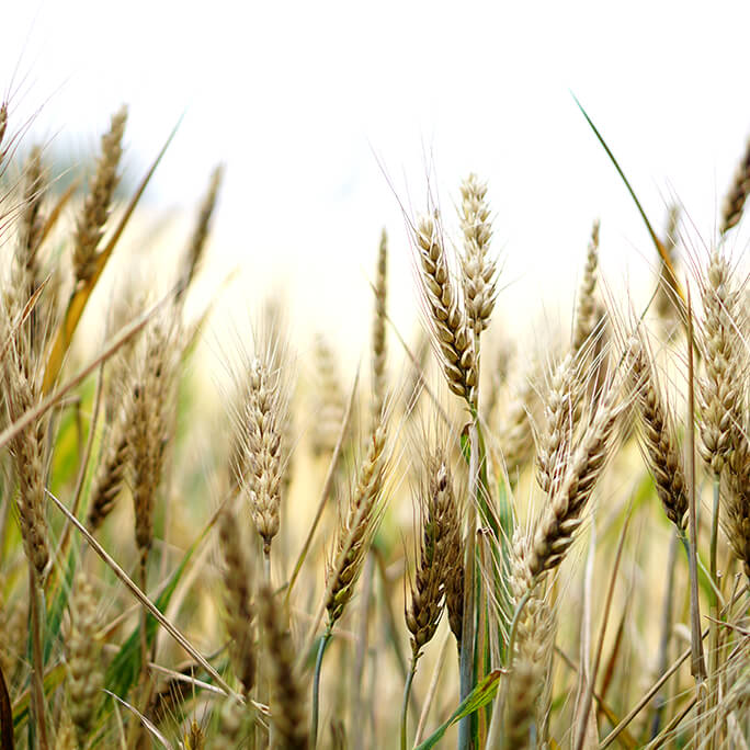 Allergy vs. Intolerance - Wheat